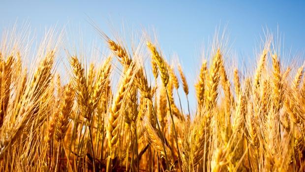 hi-wheat-852-8col-1.jpg